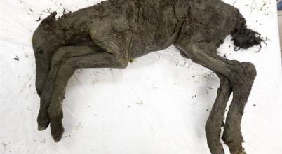 40 ezer éves csikót klónoznának a kutatók
