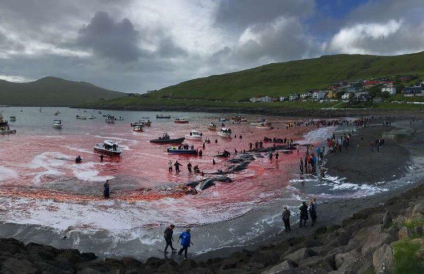 Delfinek vére festette meg a tengert a feröeri partoknál