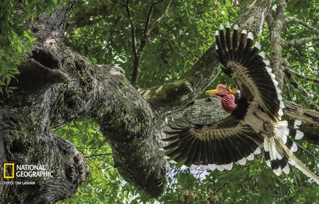 Sisakjáért vadásszák, egyre ritkább madár