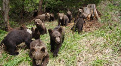 Szappanopera árva medvebocsokról