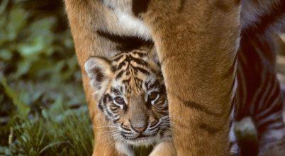 Nepálban egyre több a vadon élő tigris
