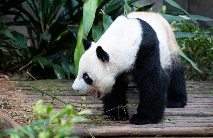 Miről árulkodik a pandák hangja?