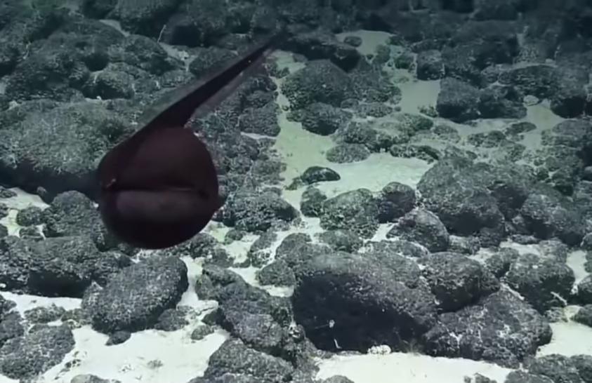 Különös élőlény bukkant fel Hawaiinál