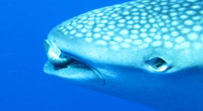A cápák látásának genetikai háttere