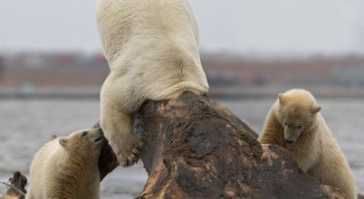 Nem lesz elég táplálékuk a jegesmedvéknek