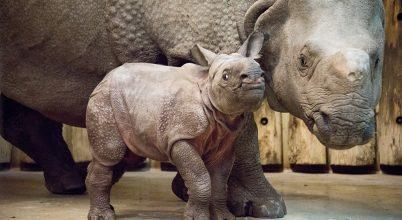 Magyarországon először született indiai páncélos rinocérosz