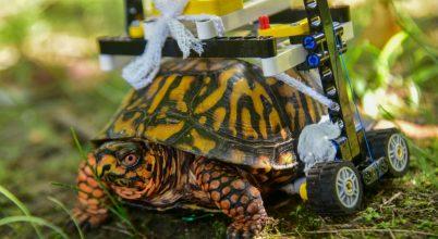Kerekesszéket kapott egy sérült teknős