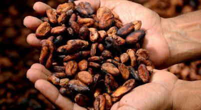 A tökéletes kakaó legyen finom és bőtermő!