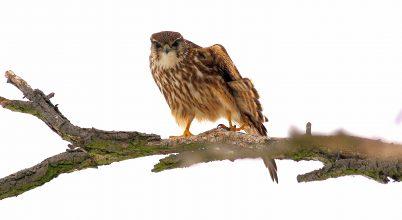 A legkisebb sólyom – hazánkban telelő apró ragadozó madár