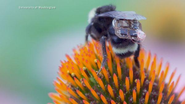 Mini érzékelőkkel segítik a kutatást a poszméhek
