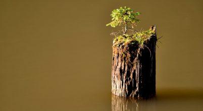 Ez a fenyőfa nem ismer lehetetlent
