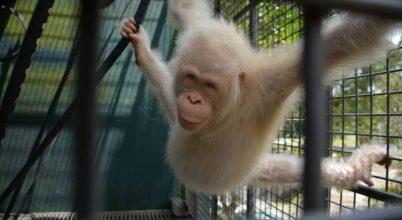 Visszatérhetett a vadonba az albínó orangután