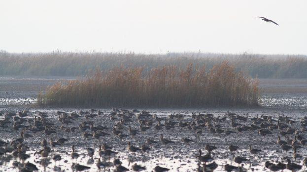 Libák hatalmas tömegben