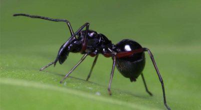 Ez a pókfaj póktejjel táplálja utódait