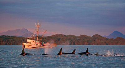 Állami védelmet kapnak a kardszárnyú delfinek