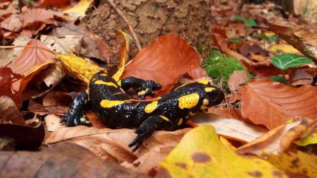 2019-ben az Év kétéltűje: a foltos szalamandra