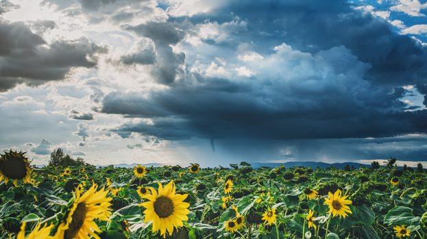 A nap képe: Napraforgók a viharban