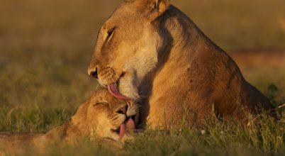 Ismét a nagymacskáké a főszerep a National Geographic Wild csatornán