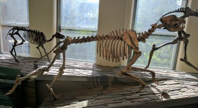 Grizzly nagyságú kutyaféle uralta Észak-Amerikát