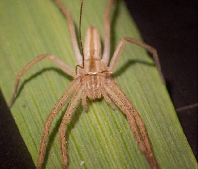 Hogyan csökkenthetik a pókok egy búzabetegség terjedését?