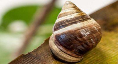 Elpusztult a világ legmagányosabb csigája