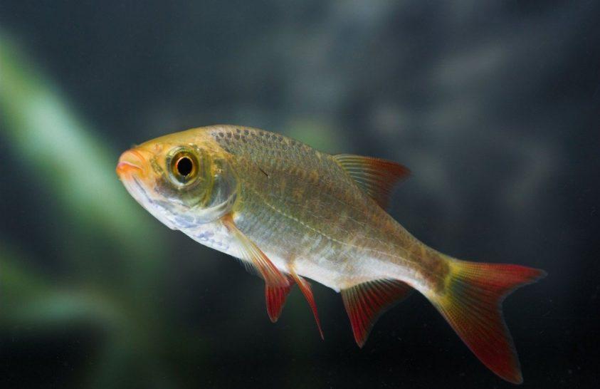 2019-ben az év hala: vörösszárnyú keszeg