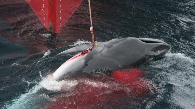 Nyílt levél a japán bálnavadászat leállításáért