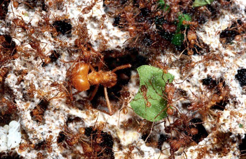 A levélvágó hangyák koordináció nélkül építenek több kilométeres utakat