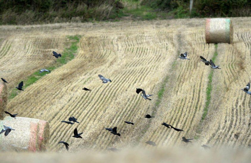 Egyre kevesebb a madár a szántóföldeken