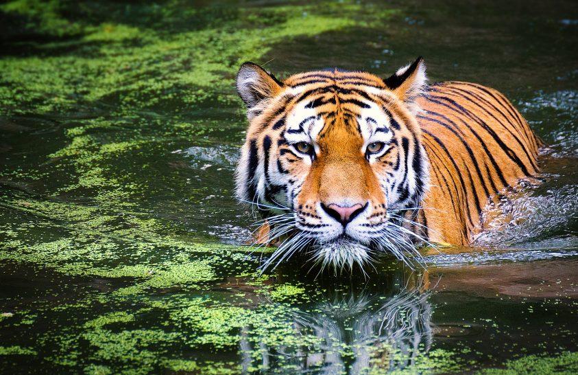 Tíz éven belül eltűnhetnek a tigrisek
