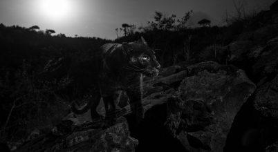 Száz év után készült fénykép egy vadon élő fekete párducról