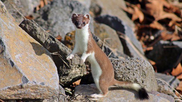 A nap képe: Keresgélő hermelin