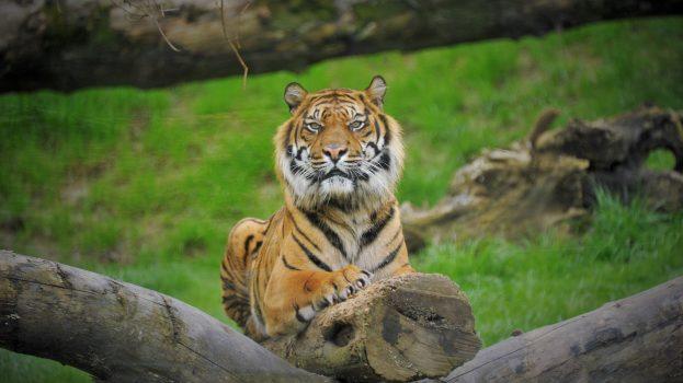 Új párt kapott az ország egyetlen szumátrai tigris hímje