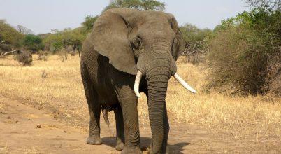 Óriási veszélyben vannak a legnagyobb állatok