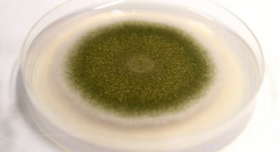A legtöbb egészségügyi problémát okozó gombát vizsgálták debreceni kutatók