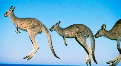 Mióta ugrálnak a kenguruk?