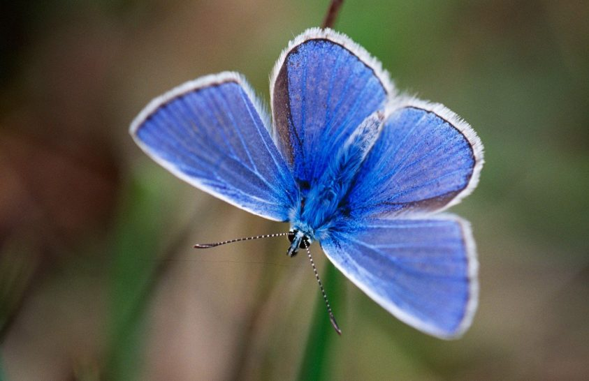 Miről is árulkodnak a boglárkalepkék szárnyainak nanoszerkezete?