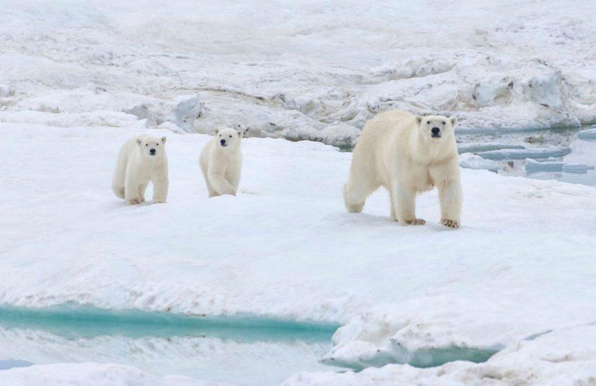Jegesmedve-invázió Európa legtávolabbi északkeleti vidékén