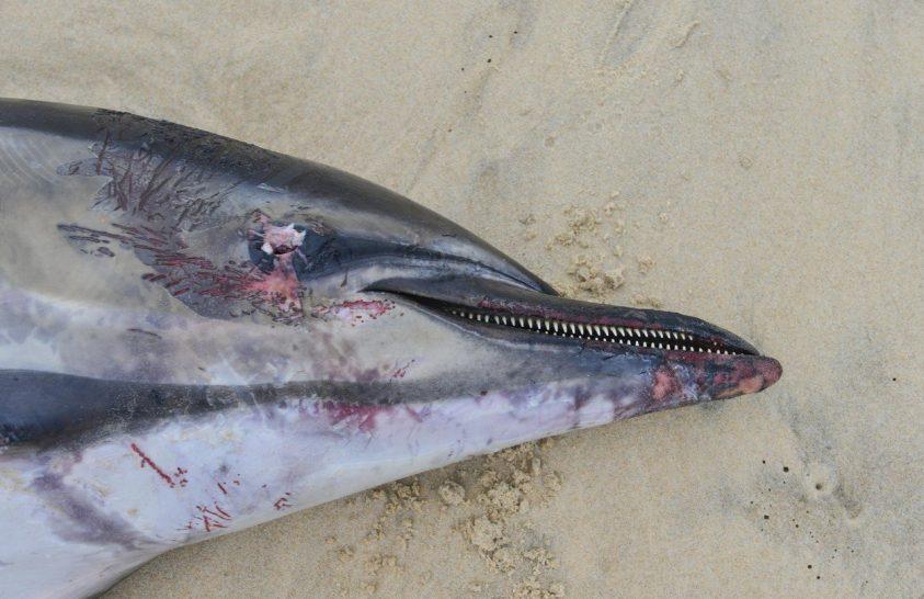 A szokásosnál is több delfin vetődött partra Franciaországban