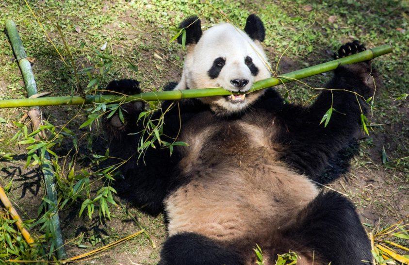 Kiderült, mikor is tértek át a pandák a bambuszétrendre