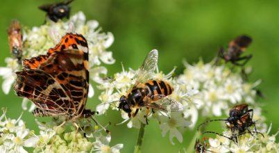 Az egész élővilágot fenyegeti a rovarok eltűnése