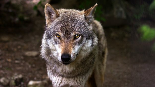 A katonaság segítségével terjednek a farkasok Németországban