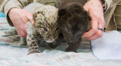 Különleges leopárdkölykök születtek