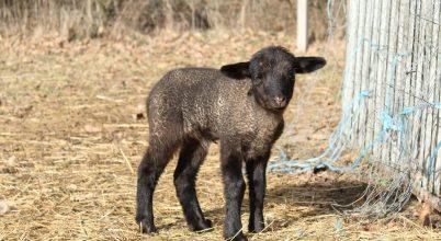Tavaszi bárány