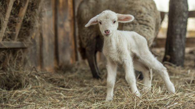 A nap képe: Ma született bárány