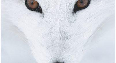Fehér vadon
