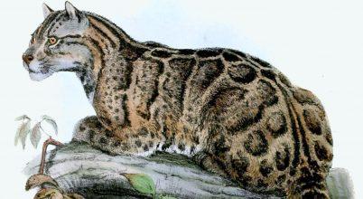 Kihaltnak hitt leopárd bukkant fel