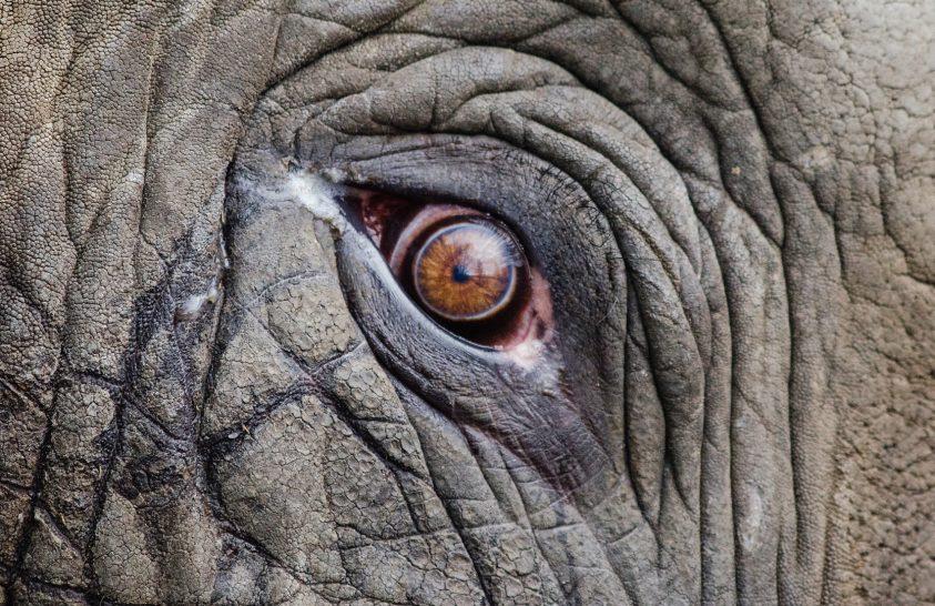 Meghalt Flavia, a világ legszomorúbb elefántja