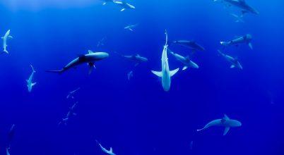 17 cápafajt fenyeget a kihalás