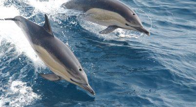Algavirágzások mérgezik a delfineket